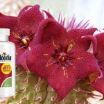 Unique Hoodia Review: Effective Natural Appetite Suppressant